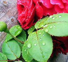 Raindrops on rose buds by amylw1