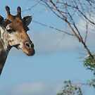 Young Giraffe by MarkySA