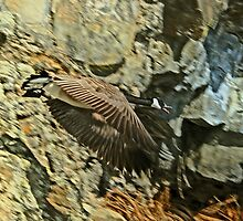 CANDIAN GOOSE CALLING by Rodney55