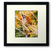 Brown Honeyeater Framed Print