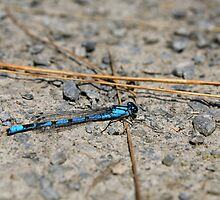 Common Blue by GreyFeatherPhot