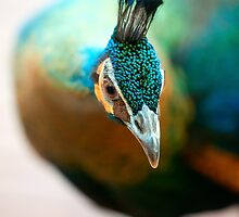 Peacock up close and personal by alan shapiro