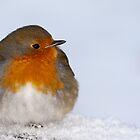 Eglington Park Robin. by Paul Messenger