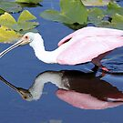 Roseate spoonbill  with reflection by jozi1