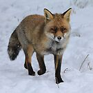 Fox in the snow 2  by DutchLumix