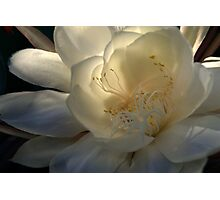 Queen of the Night at Daybreak Photographic Print