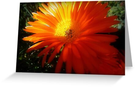 Succulent - Common Orange Pigface in Garden by EdsMum