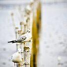 Seagull meditation... by Kornrawiee