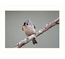 Tufted titmouse perched on a branch Art Print