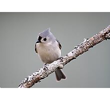 Tufted titmouse perched on a branch Photographic Print