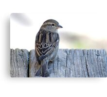 House sparrow sits on a weathered step Canvas Print