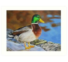 Mallard duck on ice Art Print