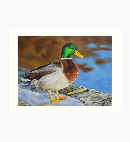 Mallard duck on ice Art Print
