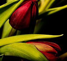 Winter Tulips II by Dania Reichmuth