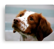 Beautiful Brittany Spaniel  Canvas Print