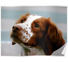 Beautiful Brittany Spaniel  Poster