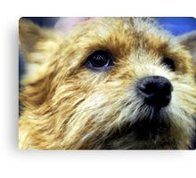 Cute Cairn Terrier  Canvas Print