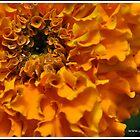 Marigold by dazaria