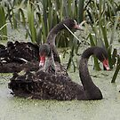 Siblings ... Black Swans by mosaicavenues