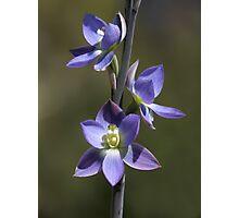 Thelymitra grandiflora Photographic Print