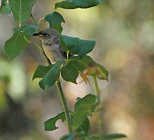 Hiding in the Rosebush by Sandra Chung