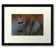 Hooded Merganser in Flight Framed Print