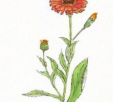 Calendula (C. officinalis) Botanical by Maree  Clarkson