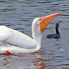 White Pelican and Cormorant by Karen Checca