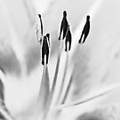 Daylily in Black and White by onyonet photo studios