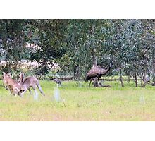 Emus & Kangaroos Photographic Print
