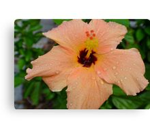 Peach Hibiscus_1 Canvas Print