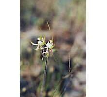 Spider Orchid at Mount Tarrengower Photographic Print