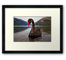 The Black Swan Framed Print
