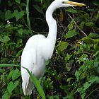 The Elegant Great Egret  by James Howell