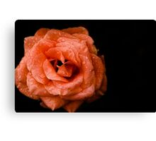 Rose on a black background Canvas Print