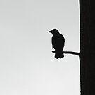 Raven by Michael Lane