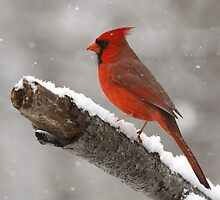 Cardinal in the snow by Gregg Williams