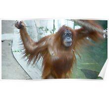 Mom on the Move - Orangutan at Toronto Zoo Poster