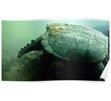 Big Rock Turtle - Toronto Zoo Poster