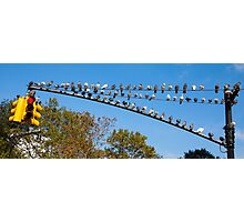 Pigeons on a traffic light Photographic Print