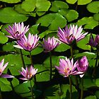 Pink Waterlilies by briansweb