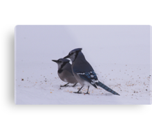 Two Blue Jays Metal Print