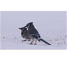 Two Blue Jays Photographic Print