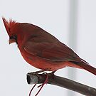 Male Red Cardinal by swaby