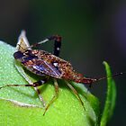 Stink Bug? by Phil Campus