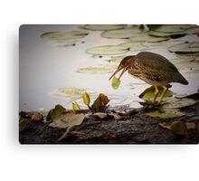 Crowned Night Heron (Hammond Pond, MA) -2 Canvas Print