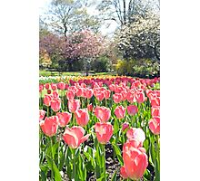 Pink Tulips in the park Photographic Print