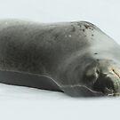 Leopard Seal by David Burren