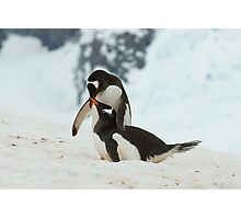 Penguin cuddles Photographic Print