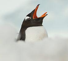 Penguin yawn by David Burren